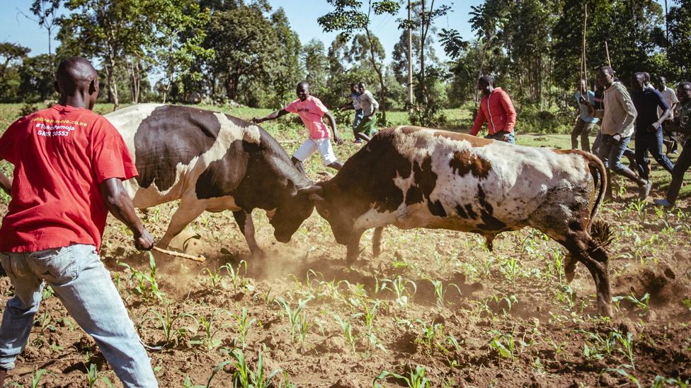 Kakamega bullfighting